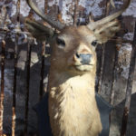 taxidermy-deer-mount-1-cabinet-of-curiosities