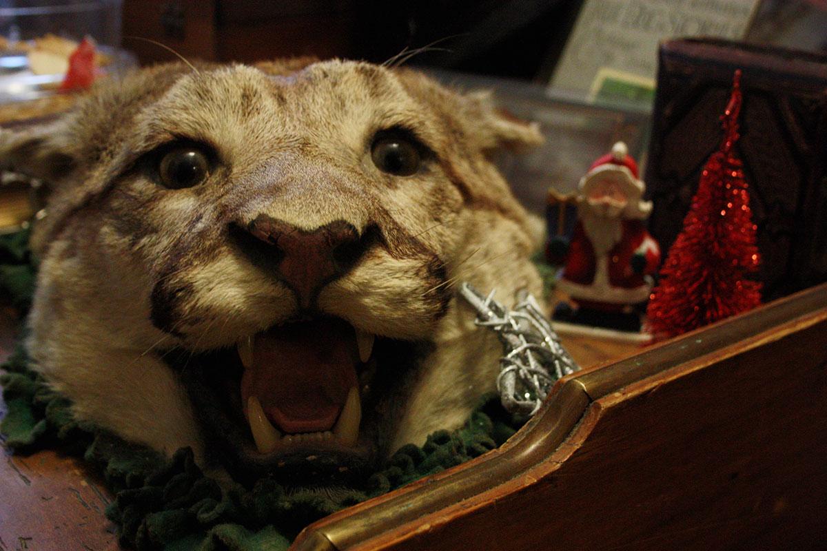 Taxidermy Cougar Head