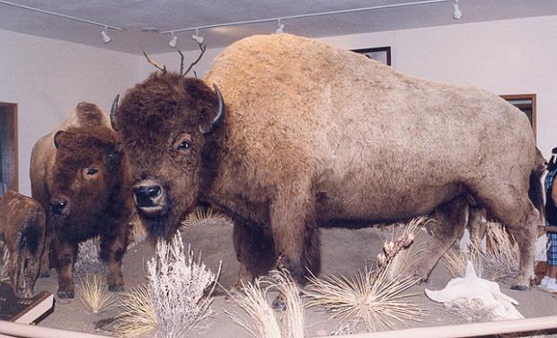 Hornaday's Buffalo