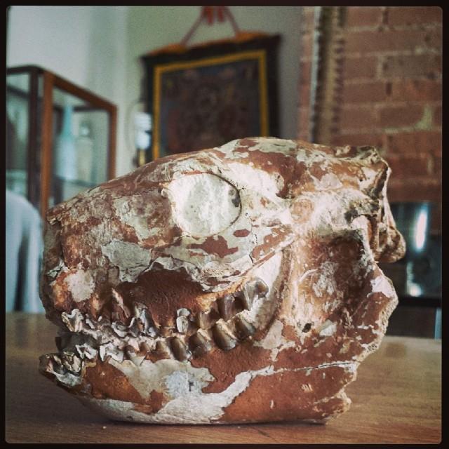 Merycoidodon Oreodont Skull